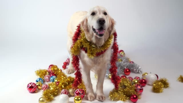 funny-pets---big-friendly-dog-posing-in-studio-with-christmas-decorations-on-a-white-background