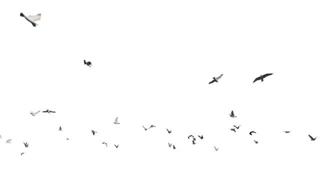 Seagulls-flying-against-white-4K