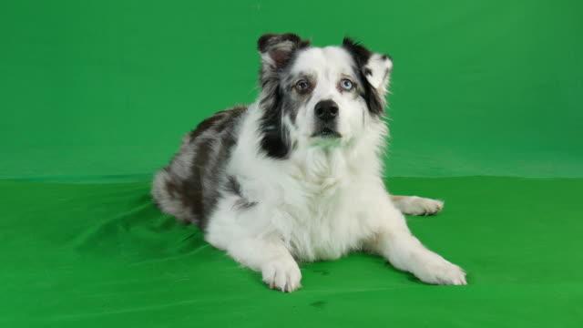 Green-screen---Australian-Shepherd-dog