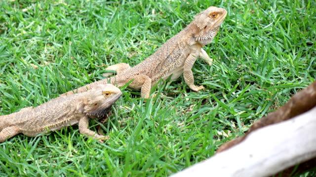 Grandes-iguanas-silvestres-en-4k
