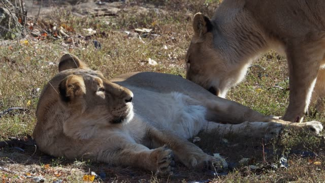 Asiatic-lioness-(Panthera-leo-persica)-A-critically-endangered-species-