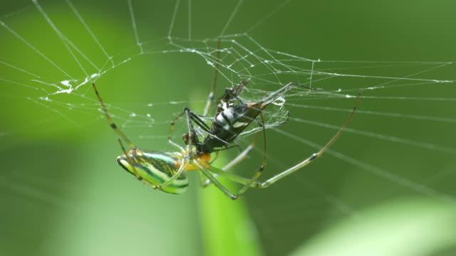 golden-orb-weaver-spider-eating-prey
