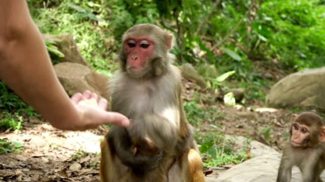The-female-monkey-takes-food