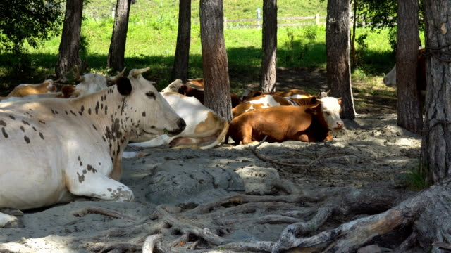 A-herd-of-cows-on-the-sandy-bank-of-the-river-