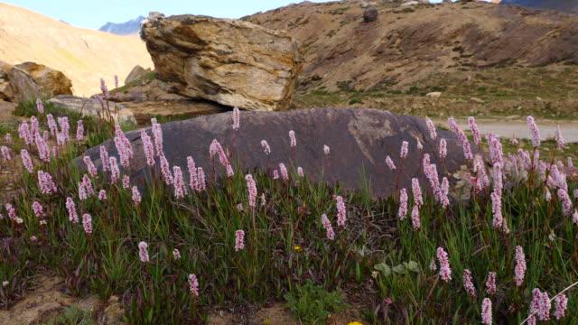 Flores-afín-de-Polygonum-soplando-en-el-viento-en-la-montaña-especie-de-floración-planta-de-la-familia-Polygonaceae-nativa-de-la-Cordillera-del-Himalaya-cachemira-India-