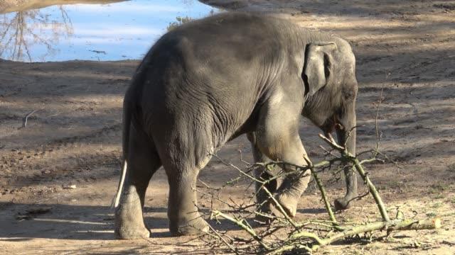 Indian-elephant-(Elephas-maximus-indicus)-Cute-baby-elephant