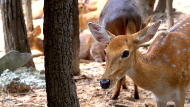 Spotted-or-Axis-deer-Herd-in-forest-on-sunrise-