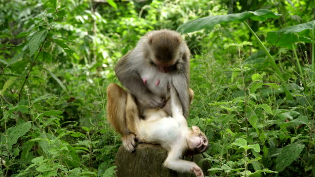 A-monkey-female-with-a-cub-in-the-jungle
