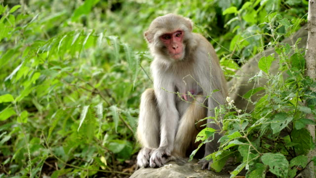 Female-macaques-in-the-jungles-of-Asia