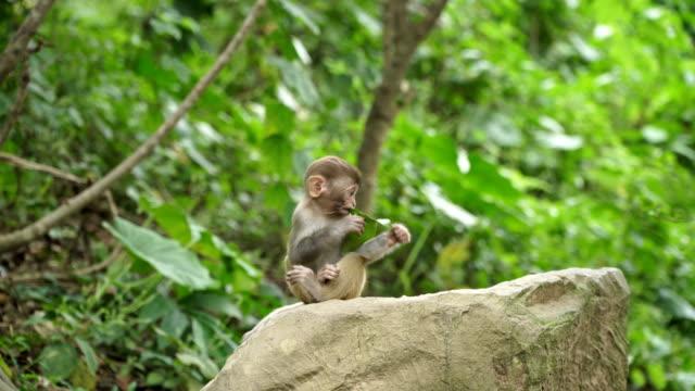 Monkey-cub-eats-green-leaf
