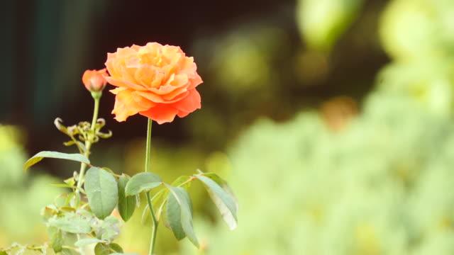 Rot-gelb-und-rosa-Rosen-frischen-und-natürlichen