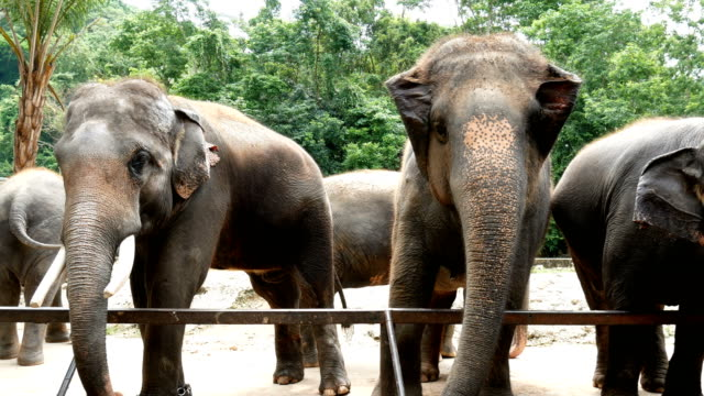 4K-footage-group-of-Asian-elephant-in-the-zoo