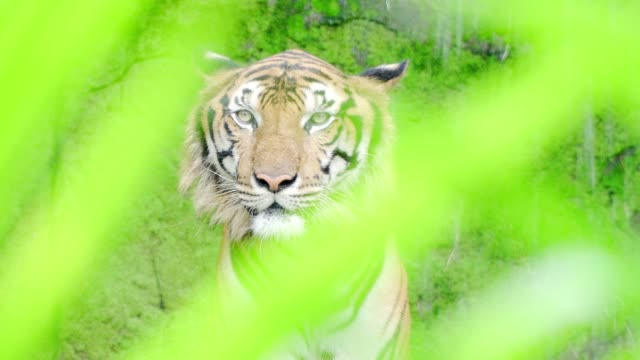 Close-up-Tigres-de-Bengala-en-cascadas-naturales-Resolución-de-4-K