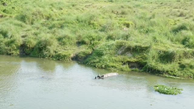Rhino-swims-in-the-river-Chitwan-national-park-in-Nepal-