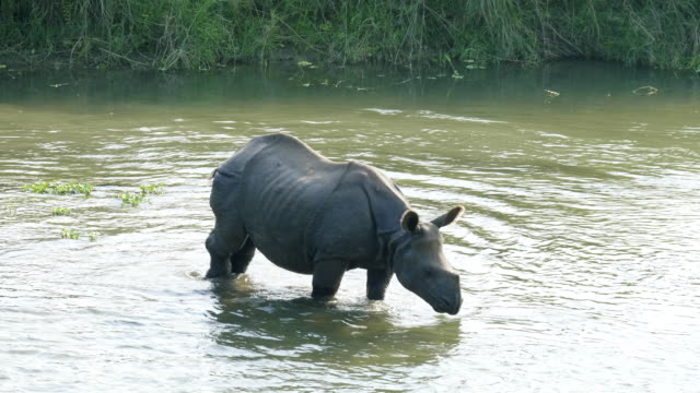 Rhino-eats-and-swims-in-the-river-Chitwan-national-park-in-Nepal-