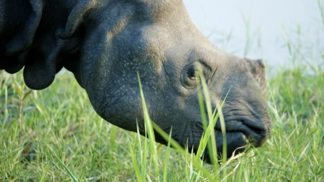 Rhino-eats-green-grass-Chitwan-national-park-in-Nepal-