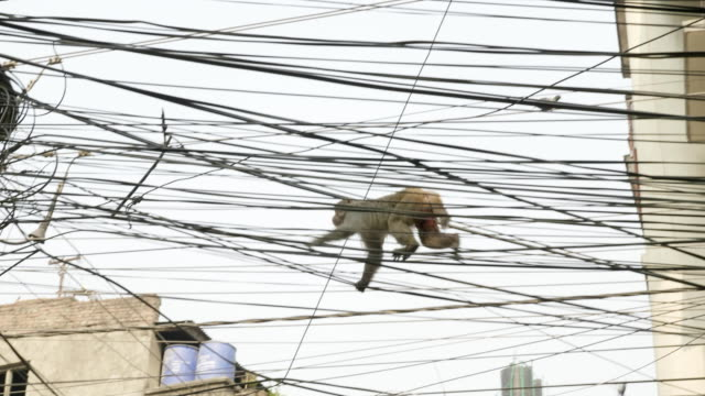 Monkey-on-the-electricity-cable-in-the-city-Kathmandu-Nepal-