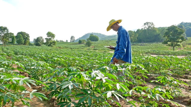 A-farmer-survey-his-cassava-farm-IOT-and-Smart-Farming-concept-