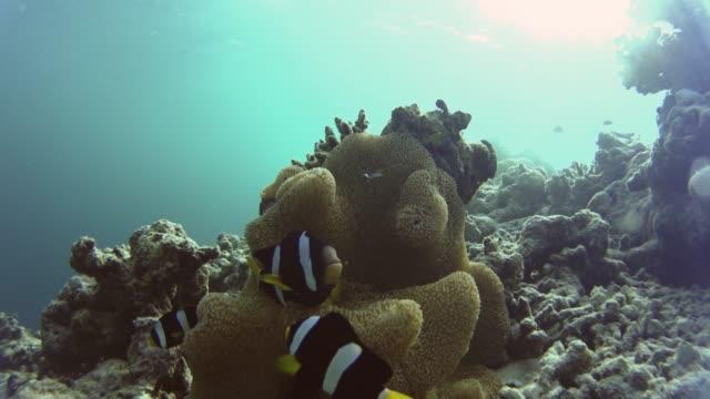 3-Nemos-surrounding-their-beautiful-anemone
