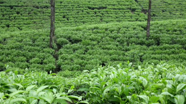 Tea-plantation-in-Wonosobo-Indonesia-Java