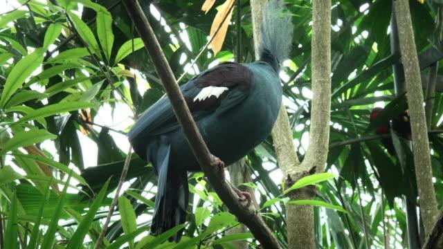 westlichen-gekrönte-Taube-thront-in-einem-Baum-auf-bali