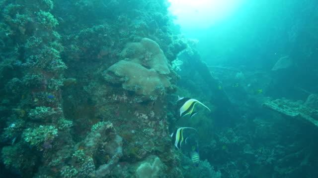 dos-ídolo-moruno-de-la-alimentación-en-la-vida-marina-en-el-pecio-liberty-en-tulamben-bali