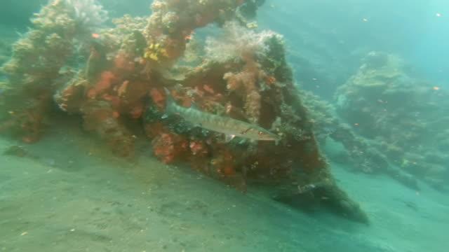 barracuda-at-the-liberty-wreck-in-tulamben-on-bali