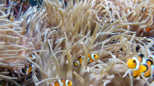Many-Clownfish-And-Sea-Anemone-Partnership