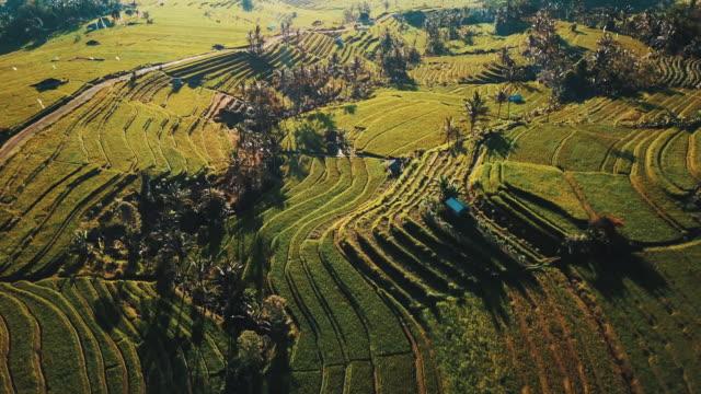 Impresionantes-terrazas-de-campos-de-arroz-en-la-salida-del-sol-rodeado-de-palmeras-y-revelan-el-camino-de-la-bobina-4K