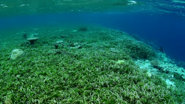 Sea-grass-bed-and-marine-life-in-Wakatobi-National-Park-Indonesia-
