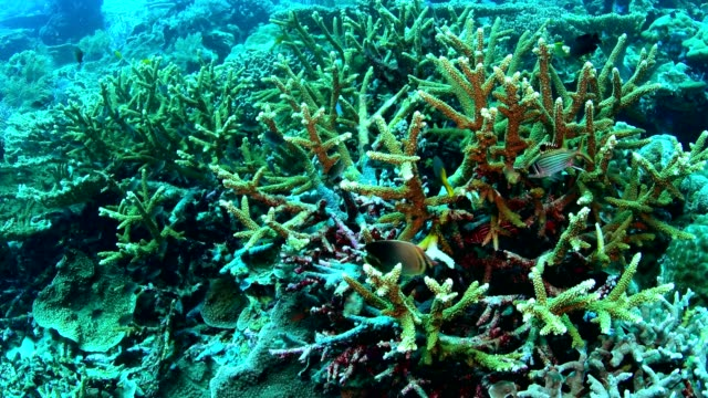 Staghorn-coral-in-Wakatobi-National-Park-Indonesia-