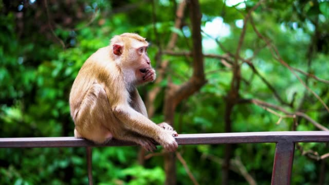 a-wild-monkey-sits-on-the-railing-in-the-park-natural-habitats-a-tropical-forest