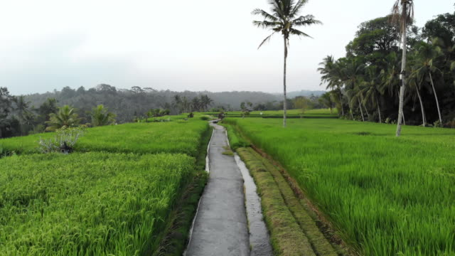 Cinematic-aerial-shot-flying-over-a-little-path-in-a-traditional-rice-field-of-Bali-Indonesia-
