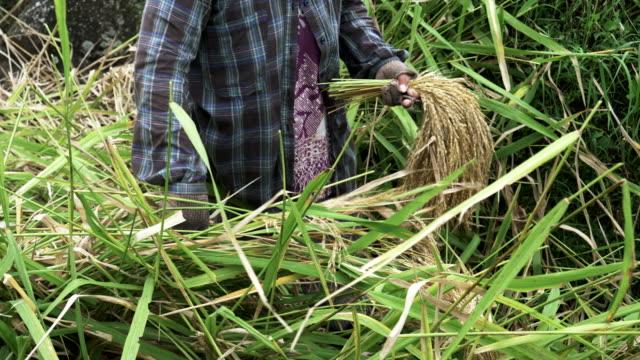cerca-de-una-mujer-cosecha-de-arroz-en-bali