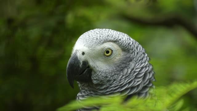 cerca-de-la-cabeza-de-un-loro-gris-africano