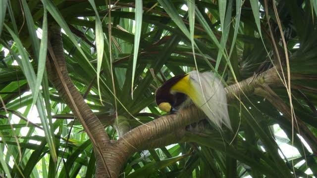 größere-Paradiesvogel-wischte-sich-den-Schnabel-auf-einem-Ast