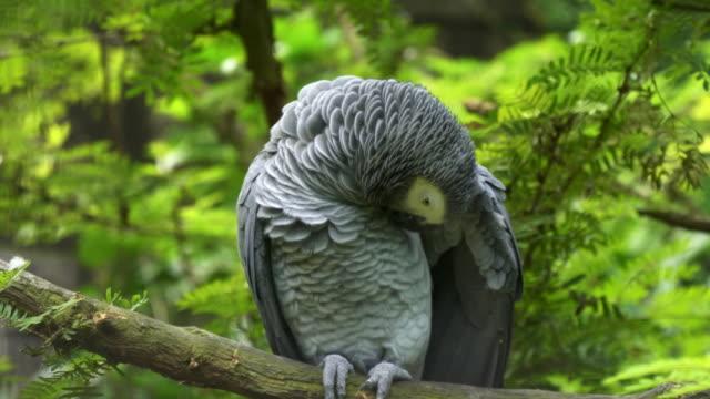 un-loro-gris-africano-que-acicalarse-las-plumas