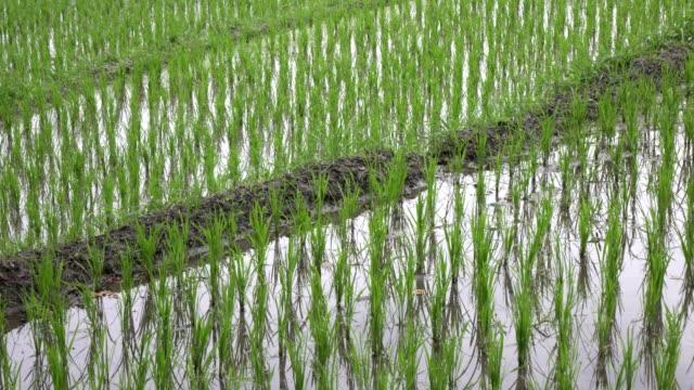 imágenes-sobre-árboles-terraza-y-palmeras-de-arroz-de-montaña-y-casa-de-los-agricultores-Bali-Indonesia