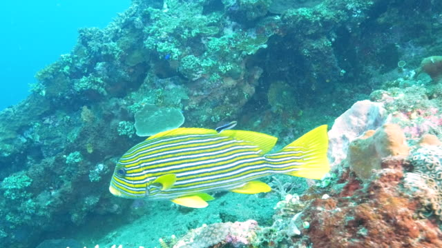 close-up-of-a-cleaner-wrasse-and-a-lined-sweetlips-at-tulamben-bali