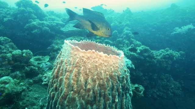 midnight-snapper-and-barrel-sponge-at-the-wreck-of-the-liberty-in-tulamben-bali