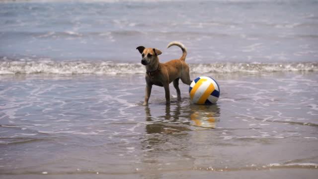 Perro-en-el-agua-En-la-playa-en-voleibol-de-océano-Perro-con-su-juego-en-el-agua-Olas-de-encerar-y-menguante-Hermoso-océano-en-la-isla-de-Bali