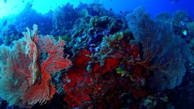 Large-sea-fan-and-marine-life-in-Wakatobi-National-Park-Indonesia-