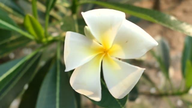 Frangipani-flower