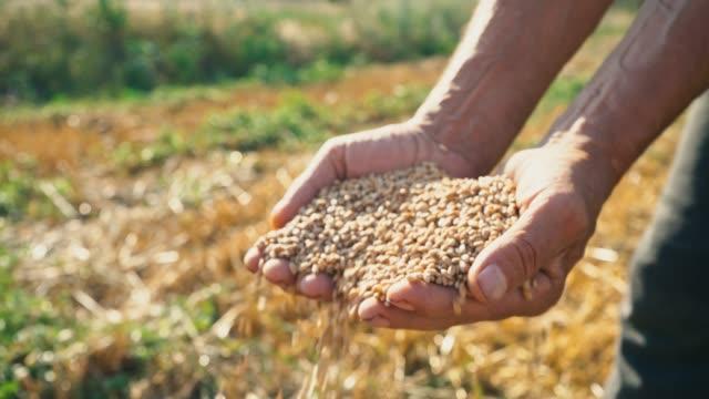 Grano-en-la-mano-de-un-granjero-contra-el-fondo-del-campo-el-trigo-se-vierte-a-través-de-los-dedos-de-un-hombre