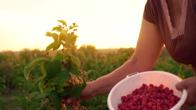 An-elderly-woman-in-a-brown-T-shirt-and-a-white-hat-rips-raspberry-berries-from-a-bush-and-puts-them-in-a-white-bowl-a-raspberry-picker-harvesting-on-a-sunset-background