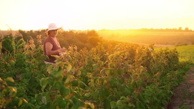 Eine-ältere-Frau-sammelt-Himbeeren-bei-Sonnenuntergang-Bio-Lebensmittel-
