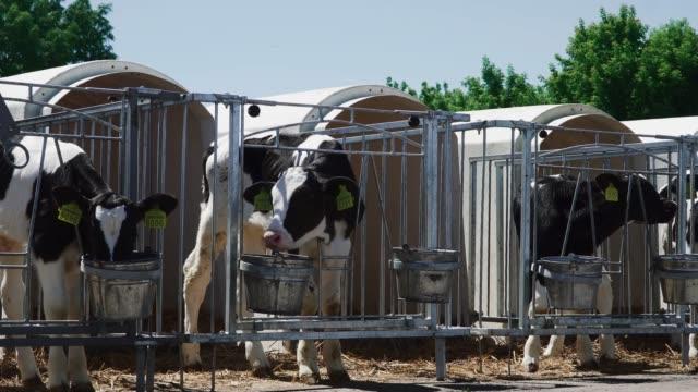 Calves-are-eaten-in-aviaries