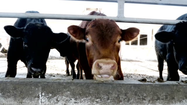 close-up-young-bull-chews-hay-flies-fly-around-Row-of-cows-big-black-purebred-breeding-bulls-eat-hay-agriculture-livestock-farm-or-ranch-a-large-cowshed-barn