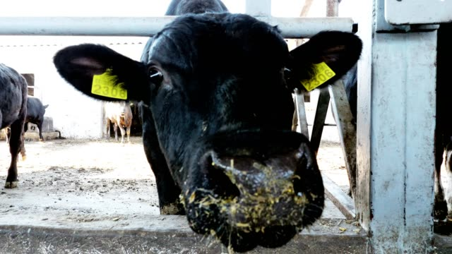 close-up-young-bull-looking-at-the-camera-chews-hay-flies-fly-around-Row-of-cows-big-black-purebred-breeding-bulls-eat-hay-agriculture-livestock-farm-or-ranch-a-large-cowshed-barn