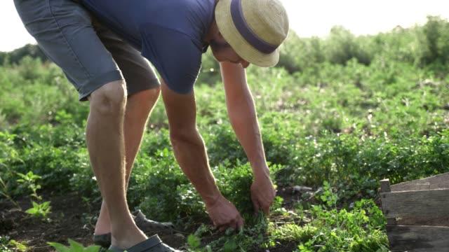 Farmer-in-hat-harvesting-fresh-parsley-by-knife-on-the-field-of-organic-eco-farm